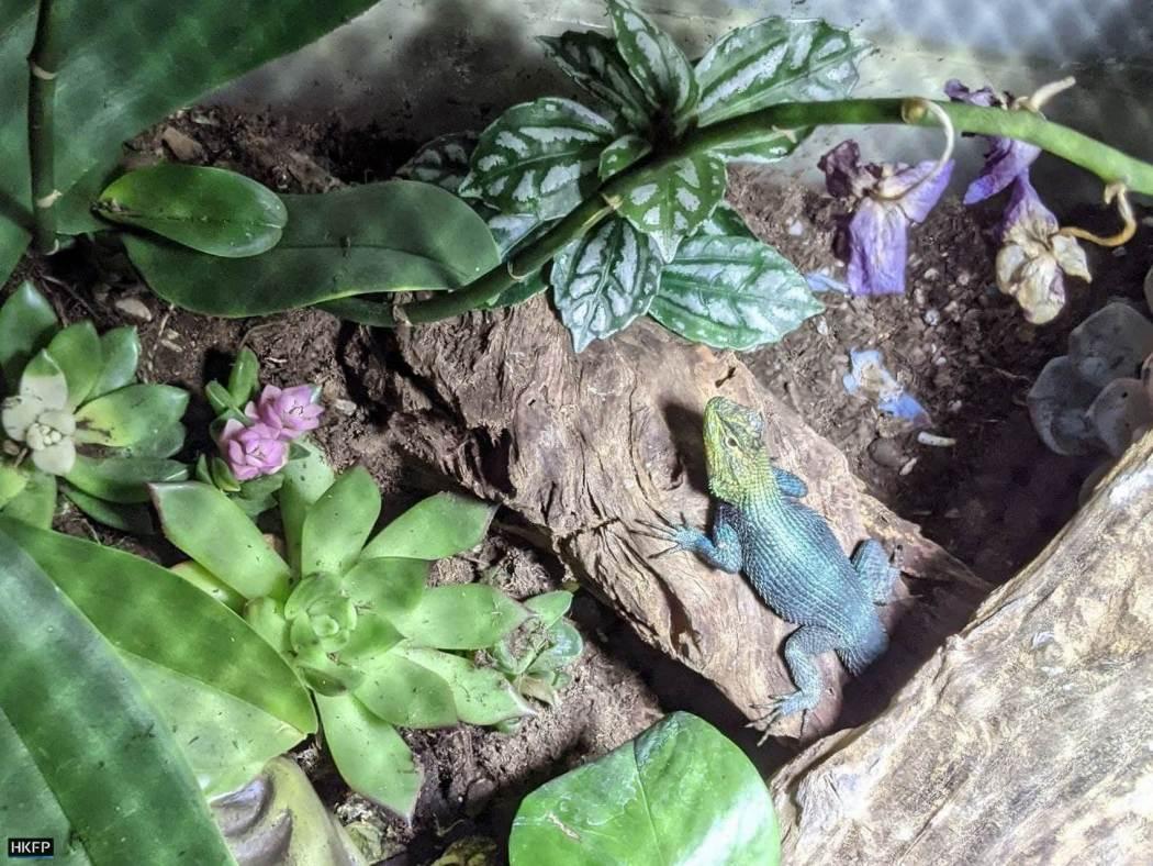 An emerald swift (green lizard) in a terrarium.
